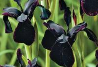 Black-iris-commercial-garden