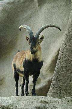 Ibex-on-rocks